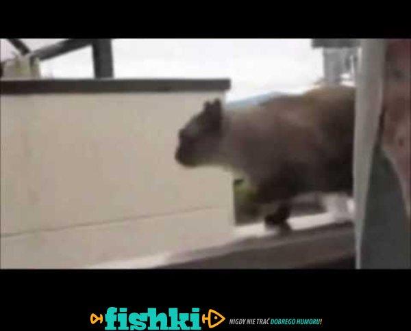 Najlepszy koci FAIL w historii internetu