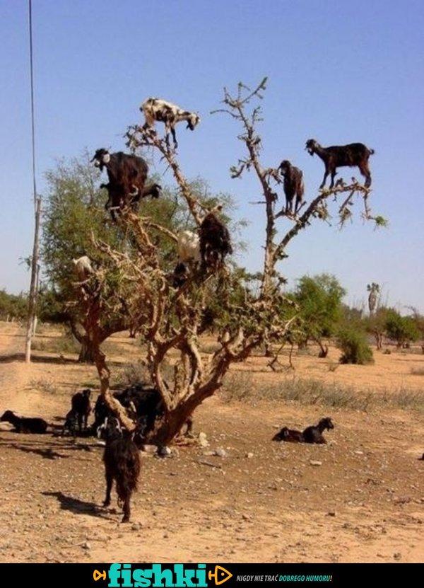 Szalone kozy
