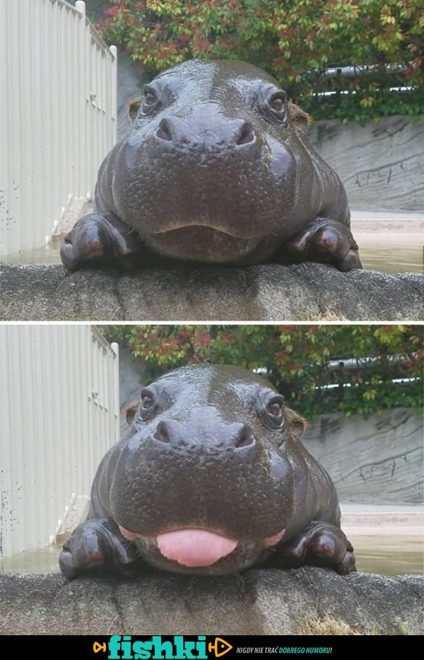 Malutkie hipopotamy