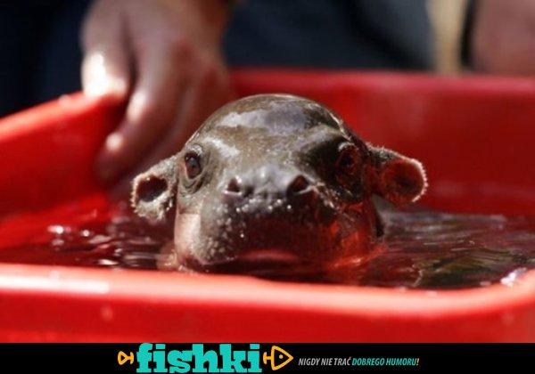 Malutkie hipopotamy - zdjęcie 26