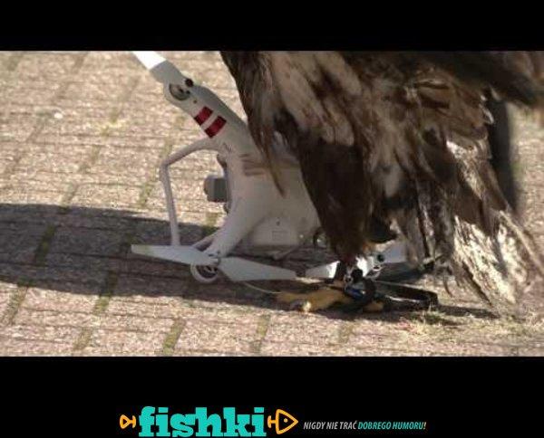 Tak wygląda szkolenie orła do walki z dronami