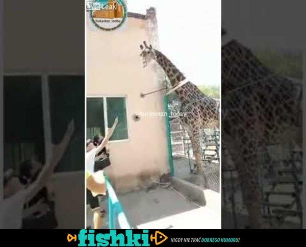 Pijany mężczyzna jeździł na żyrafie