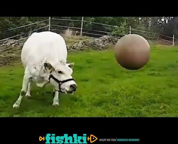 Krowa uwielbia bawić się piłką