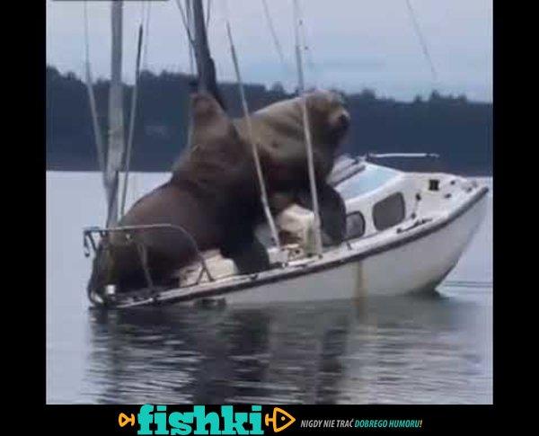 Lwy morskie płyną motorówką