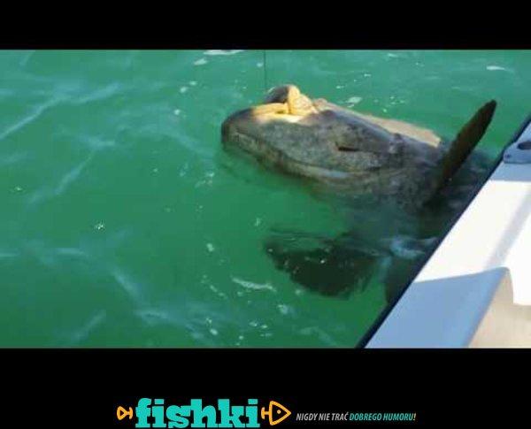 150 kg grouper