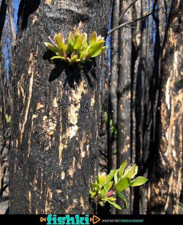 W spalonej Australii powraca życie - zdjęcie 48