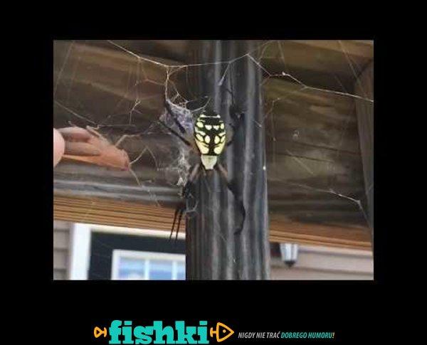 Głodny pająk