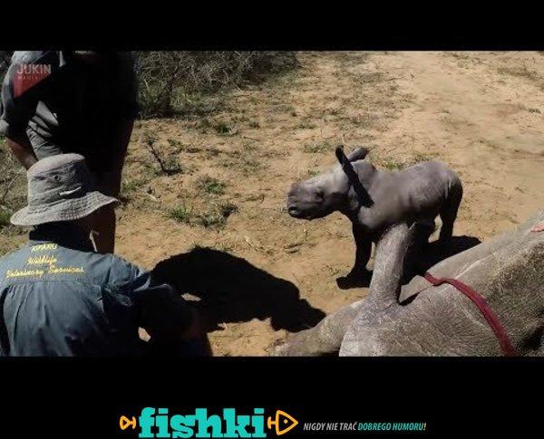 Mały nosorożec broni mamę