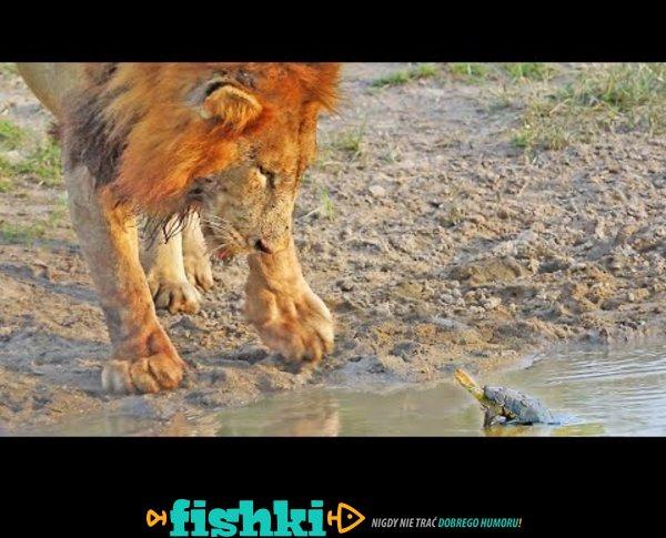 Rzeczna bestia przegoniła lwy