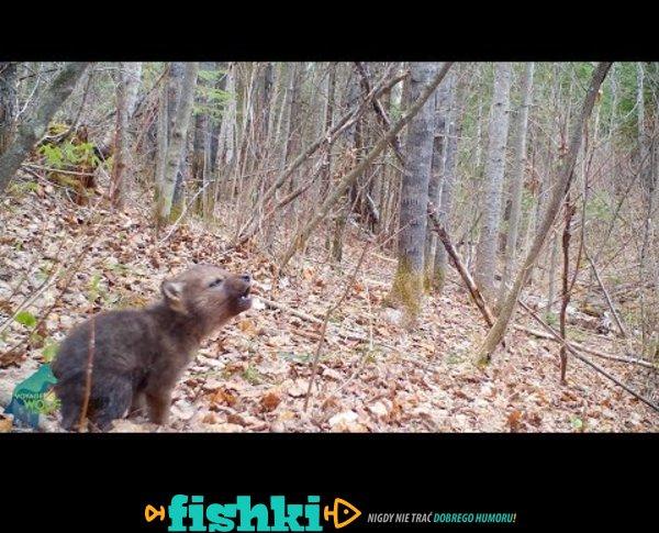 Mały wilczek ćwiczy wycie